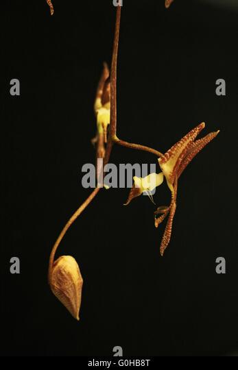 Gongora rufescens: Orchid
