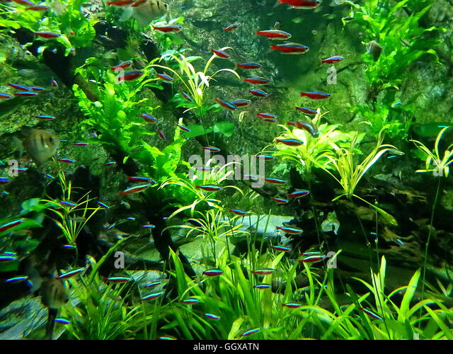 Neon tetra stock photos neon tetra stock images alamy for Neon fish tank