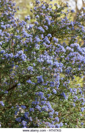 Ceanothus blue stock photos ceanothus blue stock images for Blue flowering bush
