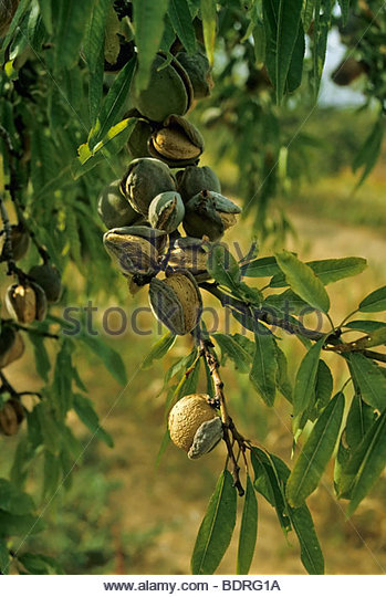 Prunus dulcis chocolate hentai