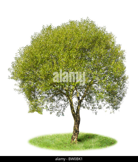 What Kind Of Grass Will Grow Under Oak Trees : Willow tree stock photos images alamy