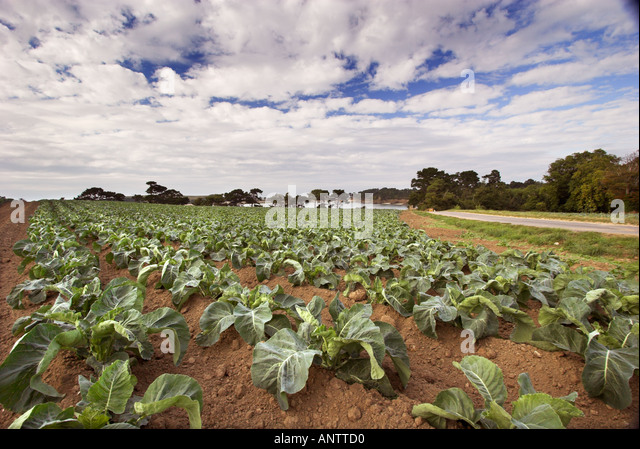 Agriculture brittany cabbage stock photos agriculture for Chambre agriculture ille et vilaine