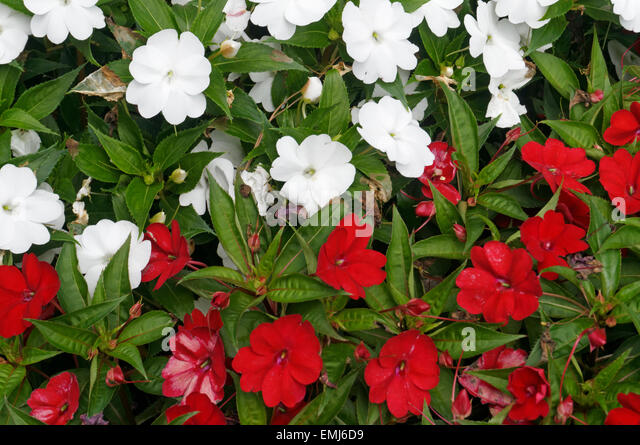 Red White Impatiens Flowers Stock Photos & Red White ... White Impatiens Flowers