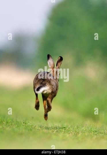 jack rabbit running