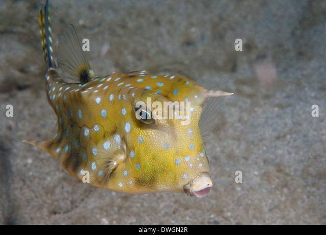 longhorn cowfish north sulawesi indonesia stock image