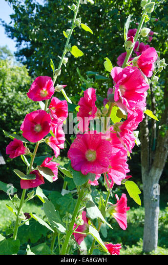 What Do Hollyhocks Look Like Pictures To Pin On Pinterest