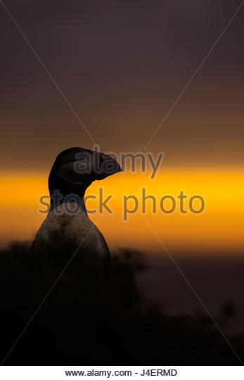 A puffin (Fratercula arctica) peering out over the Wick at sunset, Skomer Island, Pembrokeshire, Wales, United Kingdom, - Stock Image