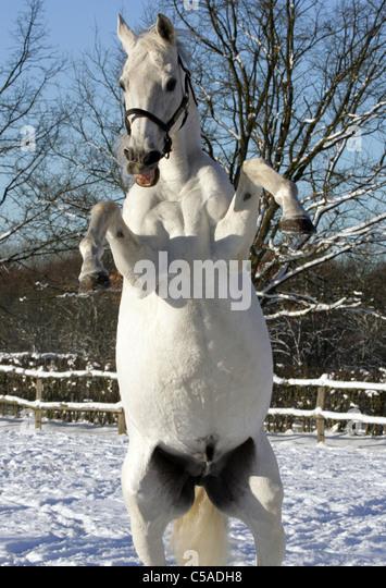 white horse rearing stock photos  u0026 white horse rearing