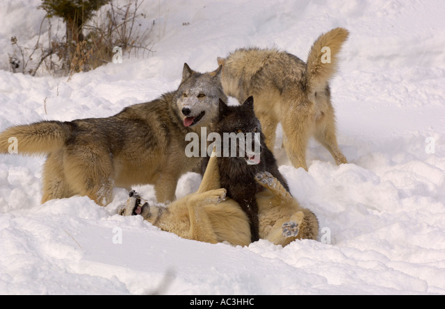 http://l7.alamy.com/zooms/7946b45eae0d4f17ac3e9f6d8594d9b0/gray-wolf-american-canis-lupis-pack-playing-in-snow-photogrpahed-in-ac3hhc.jpg Gray