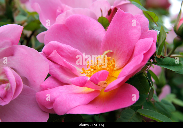 rose marguerite hilling rosa hybrid stock photos rose. Black Bedroom Furniture Sets. Home Design Ideas