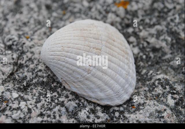 Картинка морской раковины
