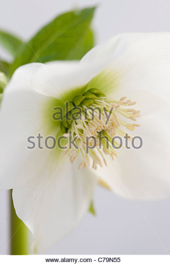 Winsome Helleborus Cv Hillier Garden Hybrid Stock Photos  Helleborus Cv  With Great Helleborus Cv Hillier Garden Hybrid Clear White  Stock Image With Comely Garden Wedding Games Also The House Garden In Addition Gardens Wiltshire And London Gardens Trust As Well As Rendered Garden Wall Additionally Flat Pack Rooms For The Garden From Alamycom With   Great Helleborus Cv Hillier Garden Hybrid Stock Photos  Helleborus Cv  With Comely Helleborus Cv Hillier Garden Hybrid Clear White  Stock Image And Winsome Garden Wedding Games Also The House Garden In Addition Gardens Wiltshire From Alamycom