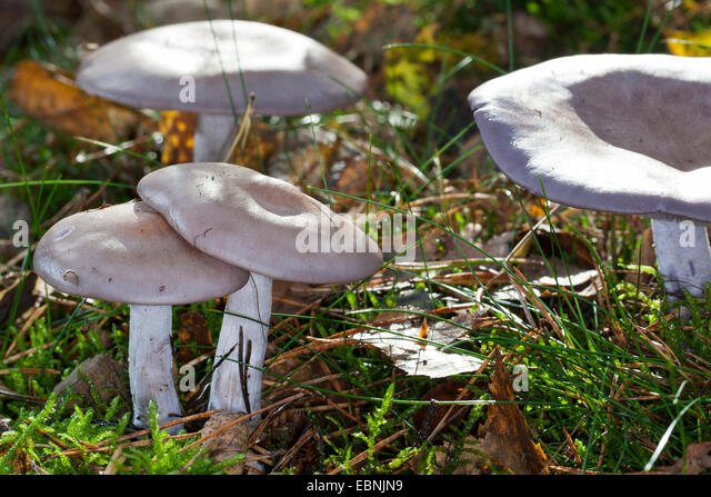 Wood Blewit (Lepista Nuda), Four Fruiting Bodies On Forest Floor, Germany