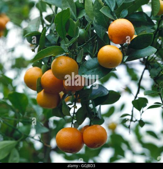 citrus mitis stock photos citrus mitis stock images alamy. Black Bedroom Furniture Sets. Home Design Ideas