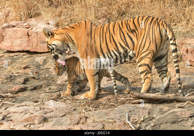 Baby Tiger Playing Stock Photos & Baby Tiger Playing Stock ...