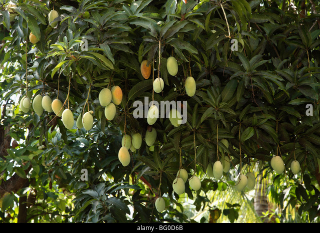 mango tree stock photos mango tree stock images alamy
