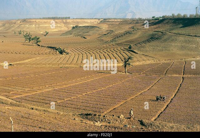 saffron cultivation in india pdf