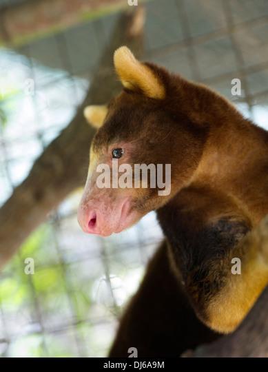 goodfellows tree kangaroo dendrolagus goodfellowi madang papua new guinea stock image