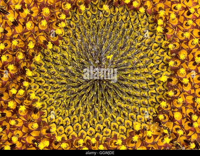 how to draw fibonacci sunflower