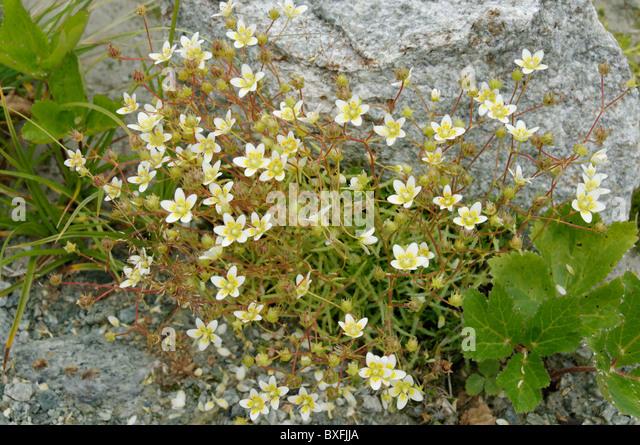 Saxifragaceae - Saxifrage Family (Saxifragaceae Images)