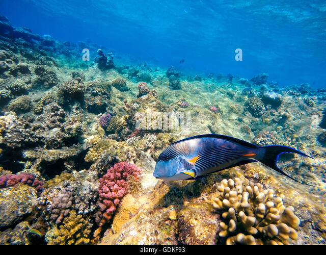 Sohal stock photos sohal stock images alamy for Other fish in the sea