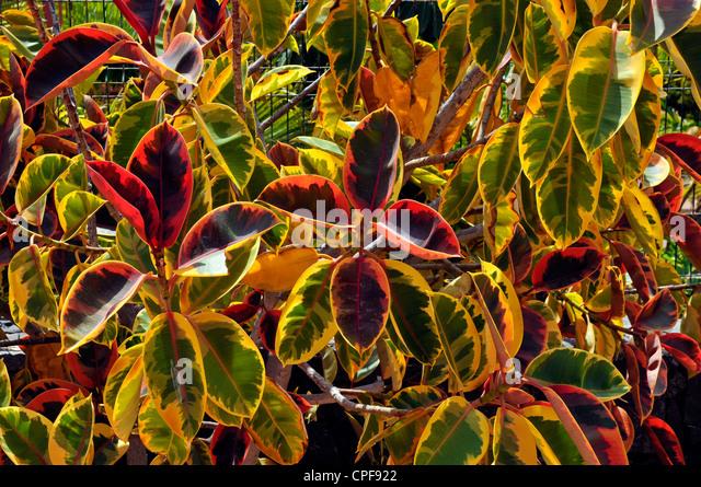 Croton plant codiaeum variegatum stock photos croton for Croton plant