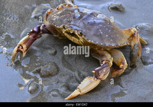 Dungeness Crab Stock Photos Amp Dungeness Crab Stock Images