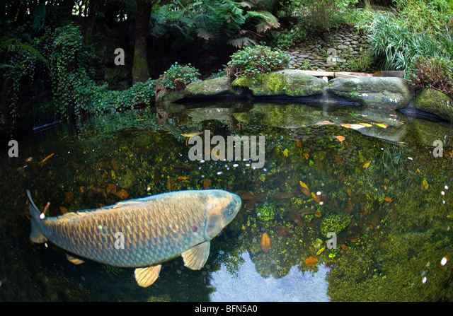 Fish pond uk stock photos fish pond uk stock images alamy Koi fish swimming pool