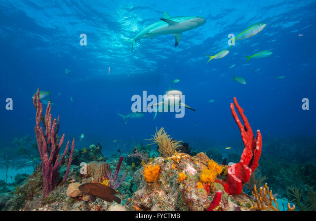 Snapper fish swimming caribbean stock photos snapper for Caribbean reef fish