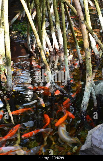 Coy water stock photos coy water stock images alamy for Koi ponds near me
