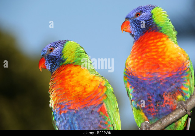 an analysis of rainbow lorikeets Analysis of http header hand raised lorikeets , rainbow lorikeet , blue fronted, cinnamon, lutino, scaley breasted lorikeet, musk lorikeet, pied.