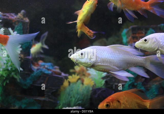 Buy aquarium fishes stock photos buy aquarium fishes for Freshwater aquarium fish for sale