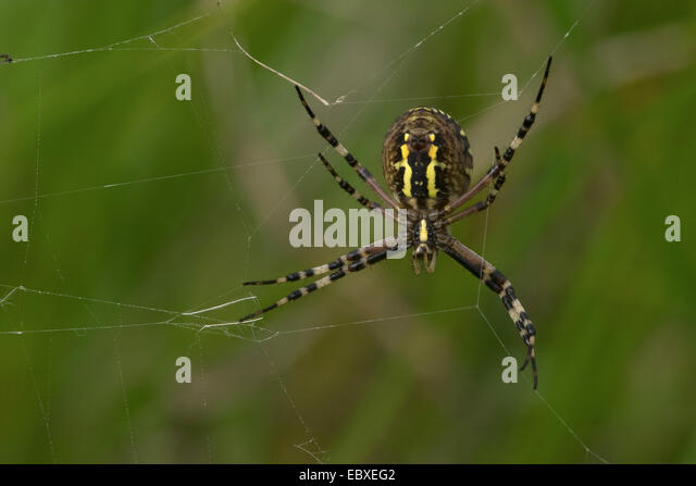 Black And Yellow Argiope Black And Yellow Garden Spider Stock Photos Black And Yellow Argiope