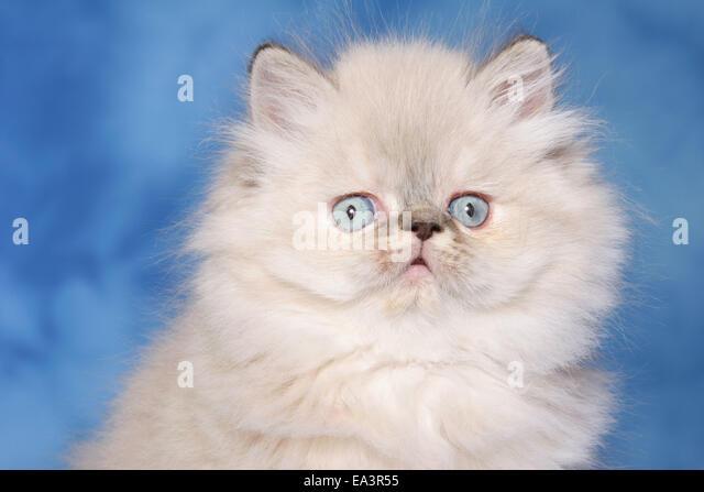 8d901dd888 Studio Portrait Persian Pet Cat Stock Photos   Studio Portrait ...