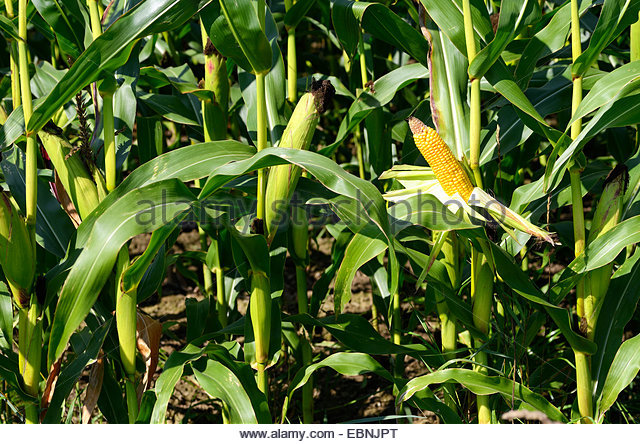 hindu singles in maize Interesting facts about rice 1  after sugarcane and maize  genetic evidence showed that all forms of asian rice, sprang from a single domestication that.