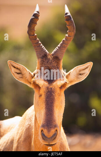 Close up of a hartebeest in Addo Elephant National Park, South Africa. - Stock Image