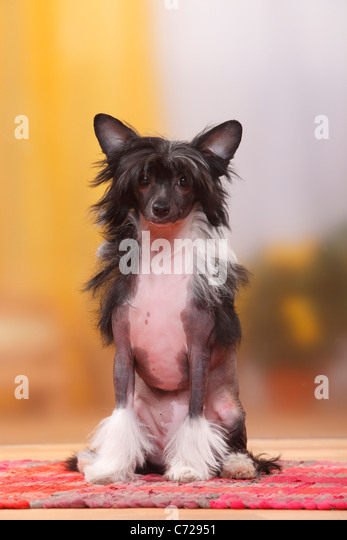 Chinese Crested 4 Months Chinese Crested Dog St...