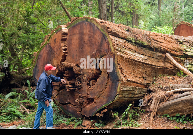 black single women in sequoia national park General sherman is a giant sequoia (sequoiadendron giganteum) tree located in  the giant forest of sequoia national park in tulare county, in the us state of  california by volume, it is the largest known living single stem tree on earth.