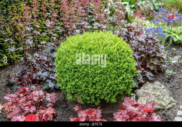 buxus ball stock photos buxus ball stock images alamy. Black Bedroom Furniture Sets. Home Design Ideas