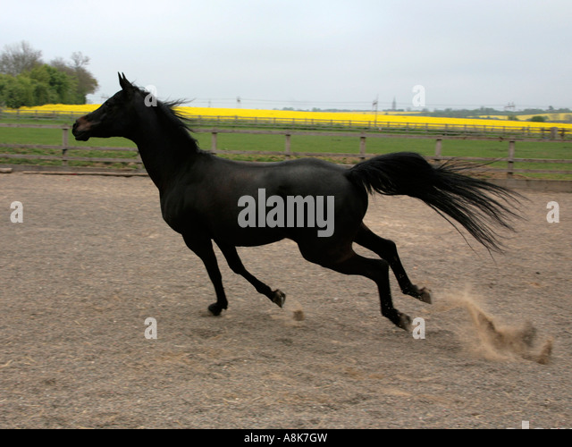 Black Arabian Stallion Running