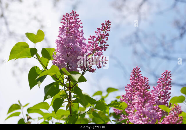 Flowers of lilac in sunny spring day on blue sky - Stock Image
