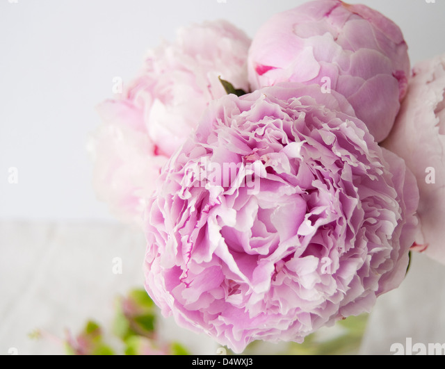Peony Cut Out Stock Photos Peony Cut Out Stock Images