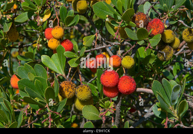 arbutus berries stock photos arbutus berries stock. Black Bedroom Furniture Sets. Home Design Ideas