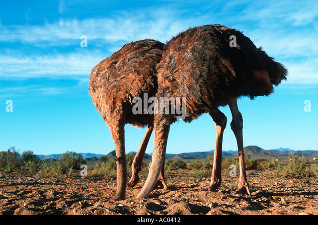 ostrich stick your head in the sand set up photograph not genuine ostrich behaviour africa