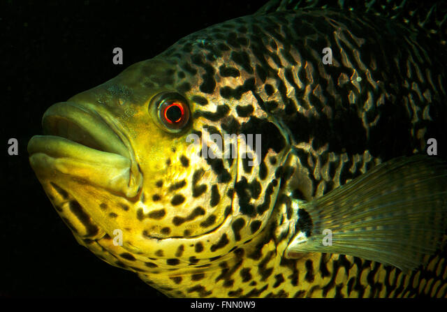 Semi Aggressive Cichlids also Albino Fish moreover Cichlids as well Favourite Fish together with 211693. on oscar cichlid breed with