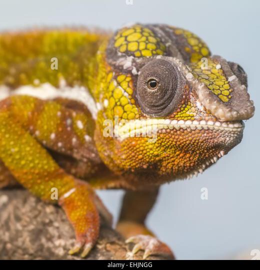 Prehensile Tail Chameleon Stock Photos & Prehensile Tail