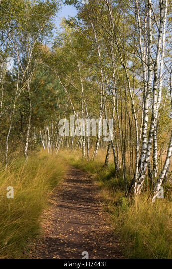 path in the birch - photo #9