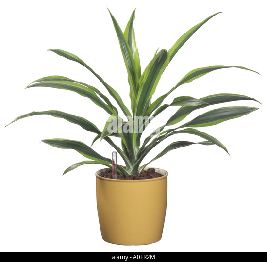 dracaena fragrans stock photos dracaena fragrans stock images alamy. Black Bedroom Furniture Sets. Home Design Ideas