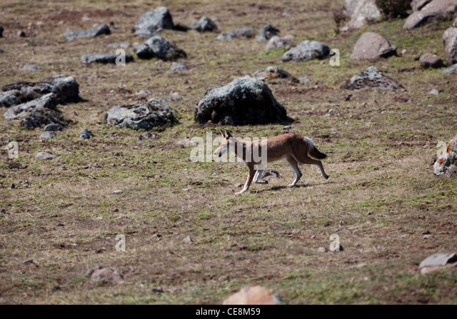 Stalking Wolf Stock Photos & Stalking Wolf Stock Images ...