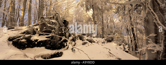 snow beech trees sunshine stock photos snow beech trees. Black Bedroom Furniture Sets. Home Design Ideas